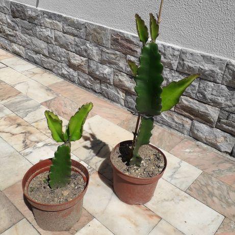 Planta Pitaya variada