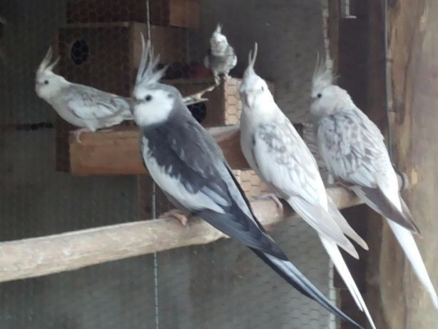 Vendo caturras prontas a criar aves maduras