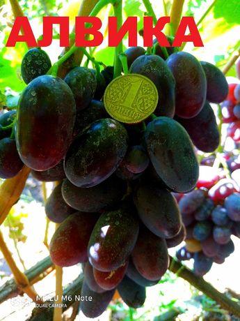 саженцы и черенки крупноплодного винограда