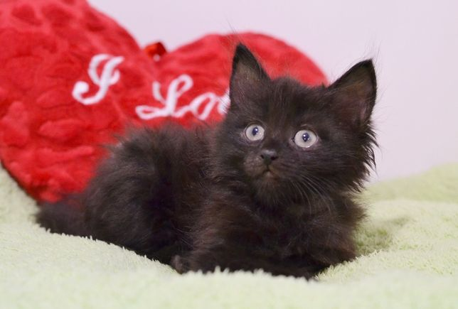 Куколка, маленькая чудо-девочка (котенок, 2 мес.) в черной шубке!