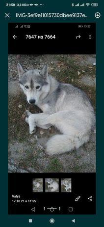 Пропала замечена собака Осипок