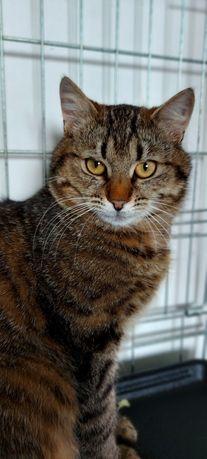 Котенок мальчик тигровый полосатый макрель