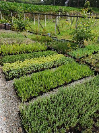 Ervas aromáticas (19 Variedades de Plantas)
