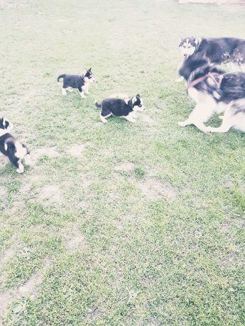 Husky pies suczka suka szczeniak szczeniaki