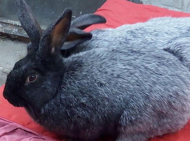 кролики серебро,./обер, ризен, фландр/