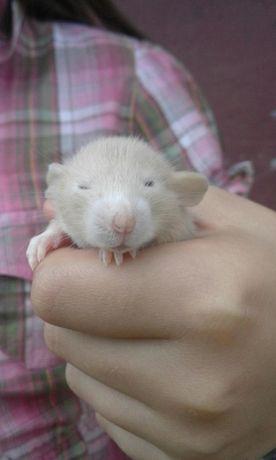 Szczury szczurki dumbo