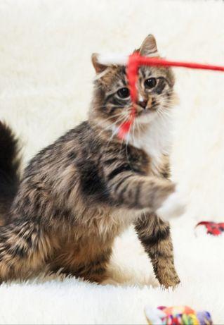 Шикарный пушистый  кот ищет дом!
