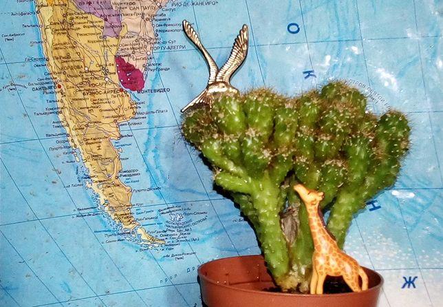 Кактус перуанский скалистый Кактус - скала