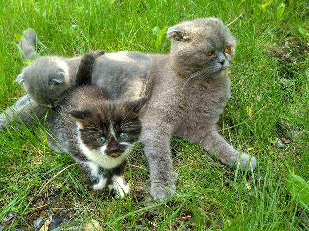 Котик метис британской вислоухой кошки бесплатно