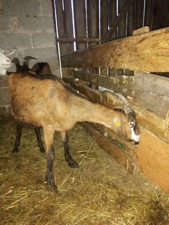 Koza wysokomleczna