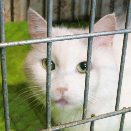 Зефирка, белая кошечка — хорошая примета | кошка 1год, стерилизованная