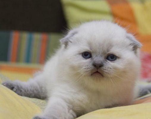 Белоснежные вислоухие котята,для Вас!