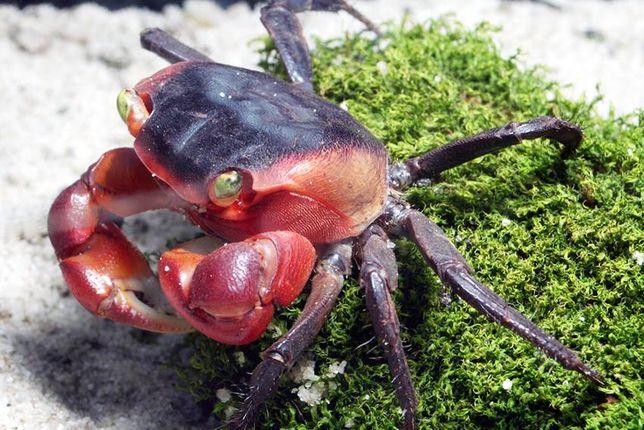 Krab czerwony jabłkowy Metasesarma aubryi 2,5 cm