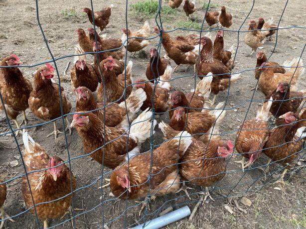 Kury nioski z poerwszym jajkiem