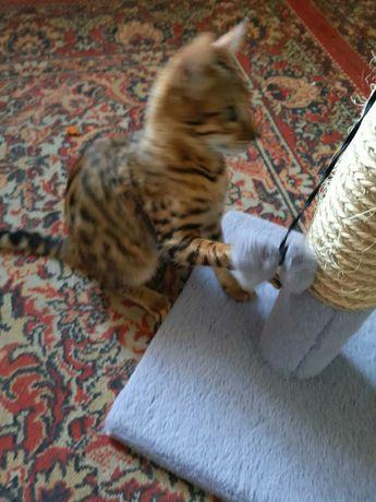Вязка.Бенгальский кот