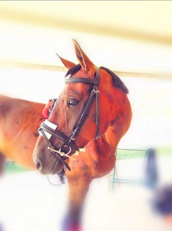 Vendo cavalo anglo-arabe
