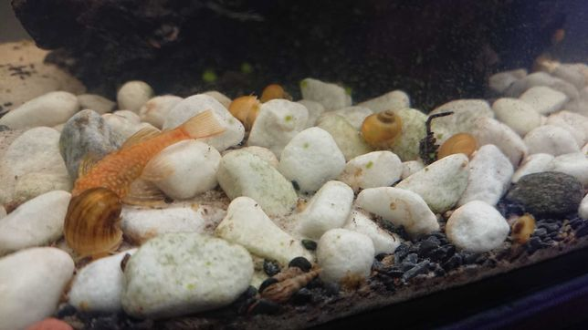 świderki 7 zł za 15 sztuk i inne ślimaki