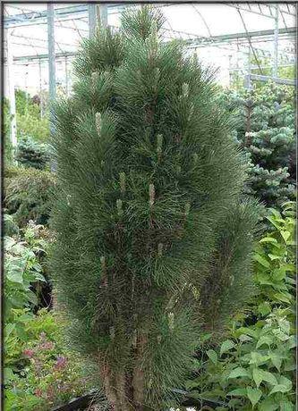 pinus nigra Scholz sosna czarna Scholz