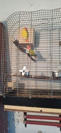 Papugi nierozłaczki