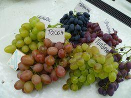 саженцы винограда и ежевики
