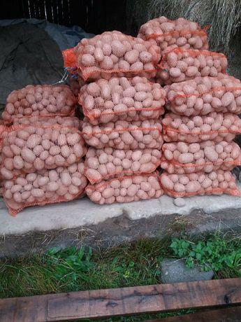 Ziemniaki Bellarosa Cyprian z własnego gospodarstwa