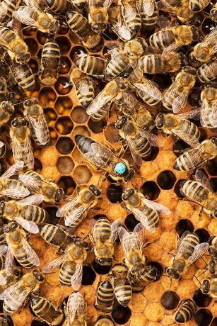 Matki pszczele, Nieska/Alpejka/Sklenar/Hinderhofer od reki 5+1 gratis