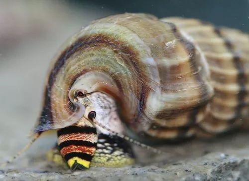 ślimak Tylomelania king snail od 10 sztuk po 6 zł