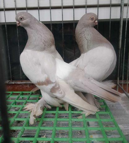 Gołębie ozdobne - Berlinskie Izabel parka parzysta- OKAZJA