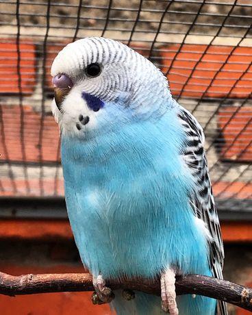 Papugi faliste/ młode papugi faliste