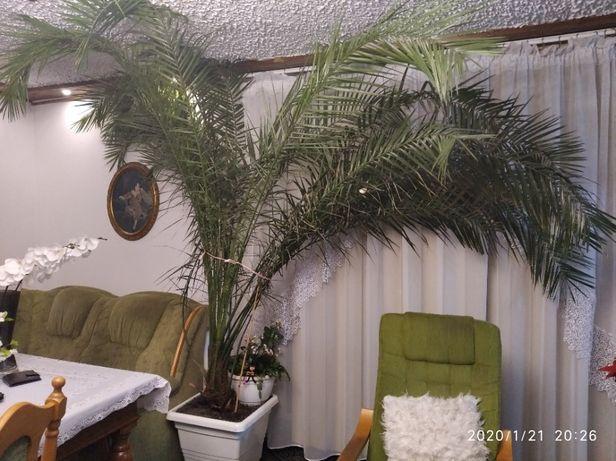 Palma Daktylowa królewska - piękna, zadbana i duża