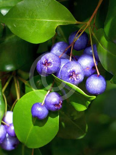 SUPER RARO - Cereja Azul - SUPER DOCE Fruta exótica PLANTA VIVA Campanhã - imagem 1