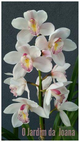 Orquídeas (Haste Floral)