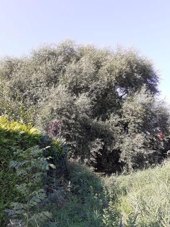 Drzewa na drewno opalowe za darmo