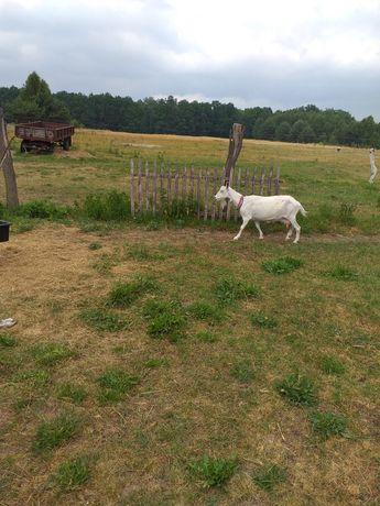 Koza mleczna do 3 litrów mleka dziennie