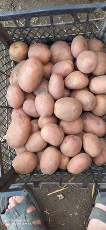 Продам картоплю сортів: Сорая, Беларосса, .