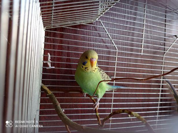 Sprzedam papugę falistą lub zamienię na samca papugi falistej