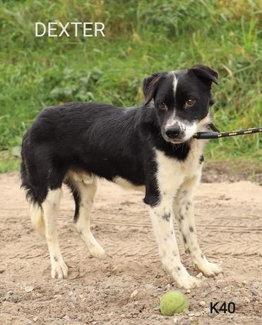 Dexter kochany łagodny pies szuka domu