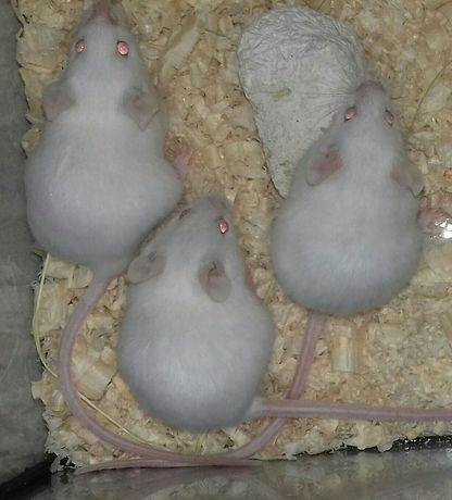 Мышь белая