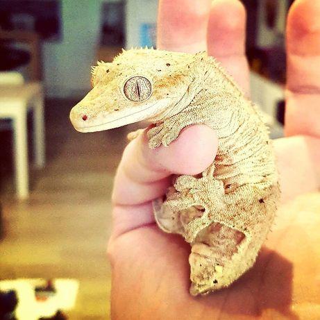 Repashy Crested Gecko(mango, classic) dla gekon orzęsiony + gekony