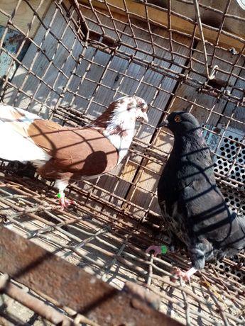 Orliki szariki szaryki gołębie