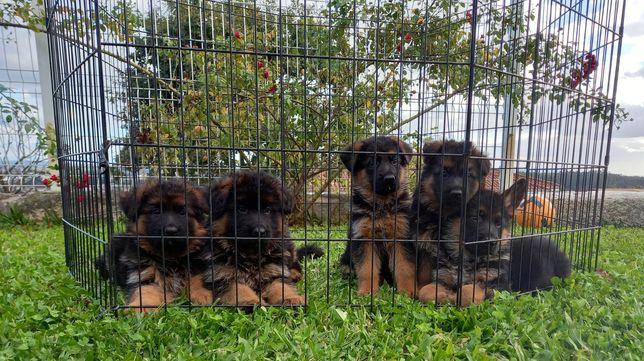 Pastor Alemão - Cachorros de qualidade!