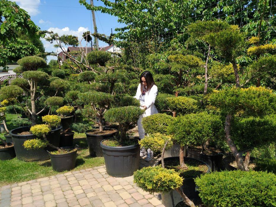 Bonsai , drzewa i krzewy formowane do ogrodu-NIWAKI 500 zł- 2100 zł Ustroń - image 1