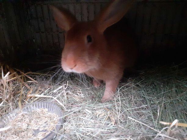 Sprzedam królika samice burgundzką kotną