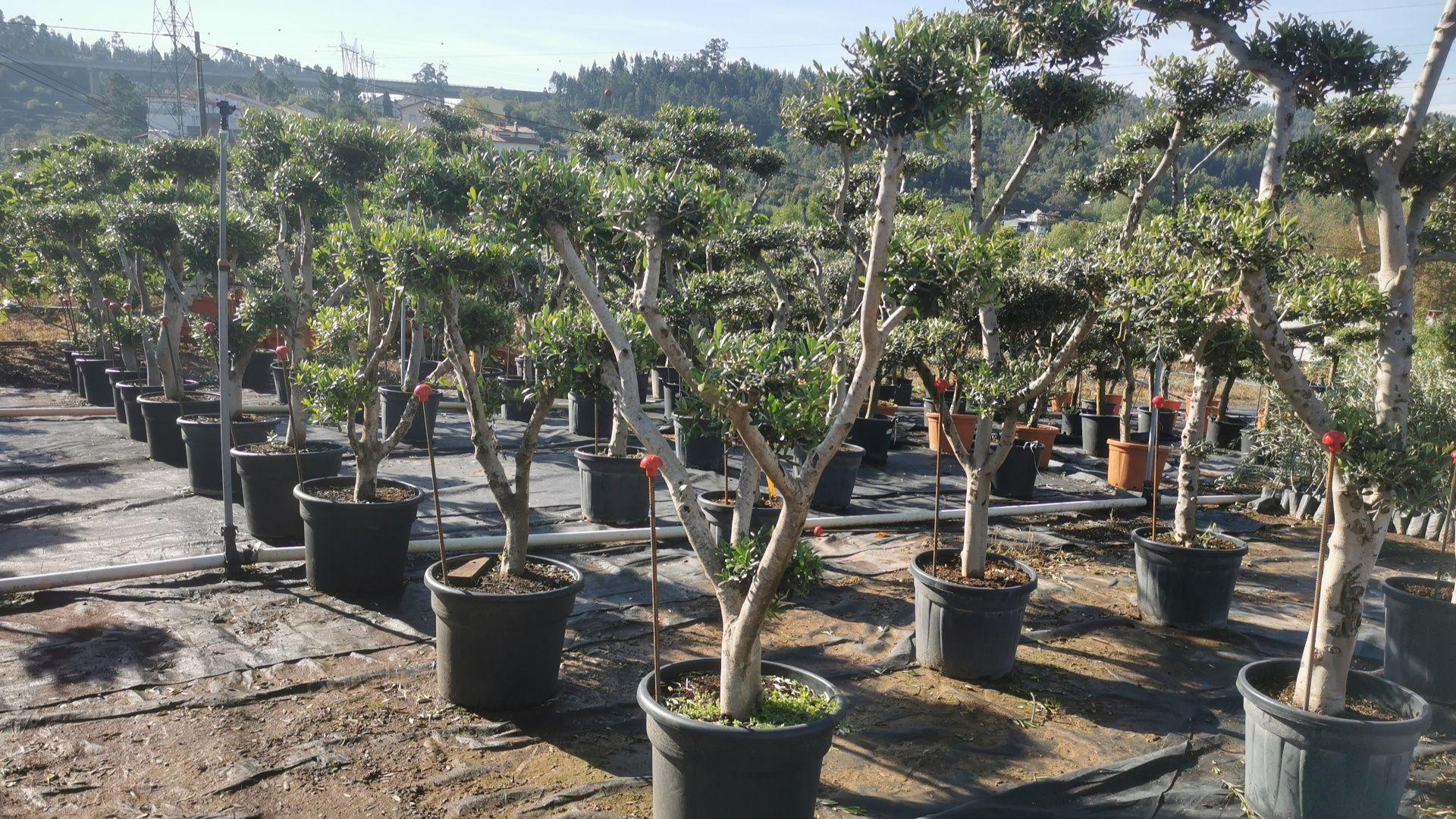 Oliveiras bonsai