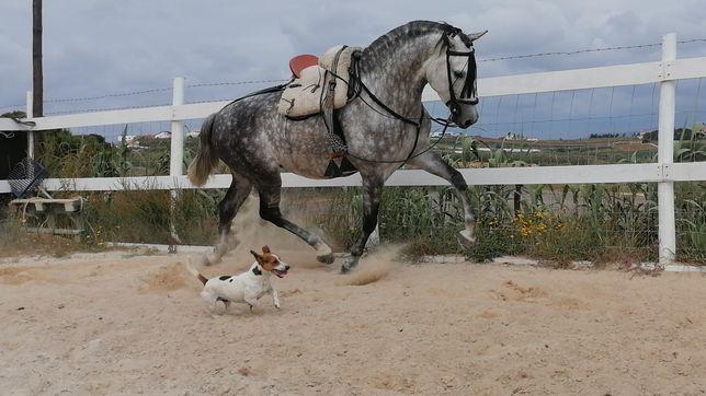 Cavalo Hispano-Arabe