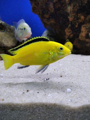 Pyszczak yellow żółty