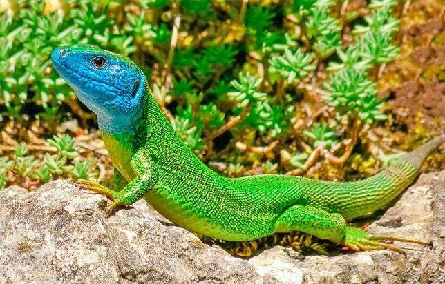 Ізумрудна імберійская ящірка