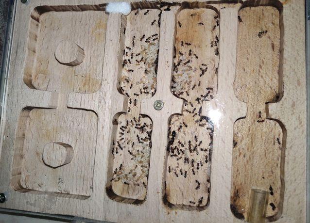 Муравьи Crematogaster scutellaris
