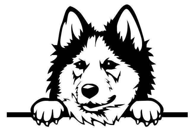 n1065 Siberian Husky