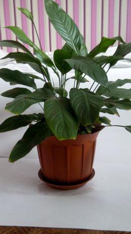 спатифиллум женское счастье комнатные цветы растения